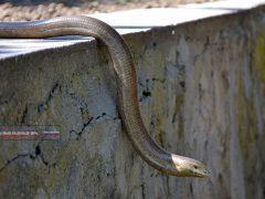 Крымская змея, желтопузик